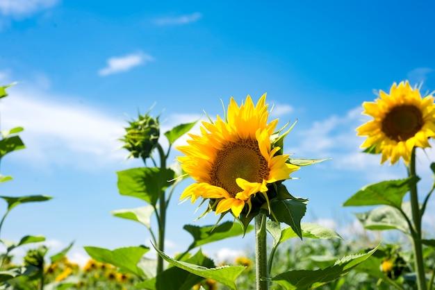 Die reizvolle landschaft der sonnenblumen gegen den himmel. sonnenblumengarten.