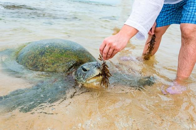 Die riesige meeresschildkröte tauchte im flachen wasser auf und ein mann füttert sie mit algen, sri lanka
