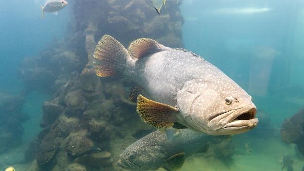 Die riesigen barschfische im aquarium