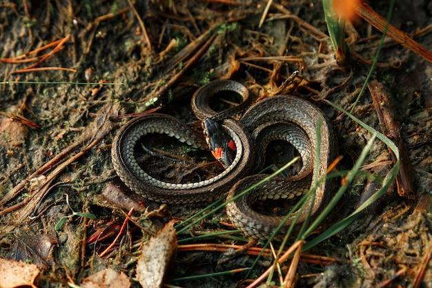 Die ringelnatter, manchmal auch wasserschlange genannt, versteckt sich im gras