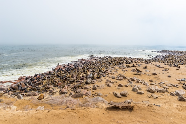 Die robbenkolonie bei cape cross, an der atlantikküste von namibia, afrika