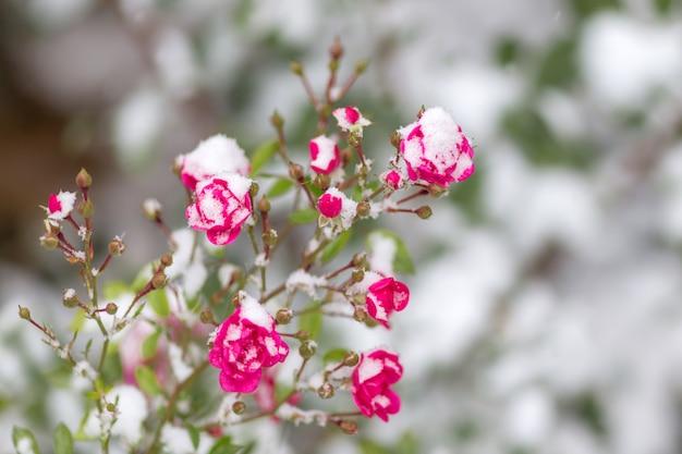 Die rose im schnee der schnee liegt auf der gefrorenen rose. früher winter