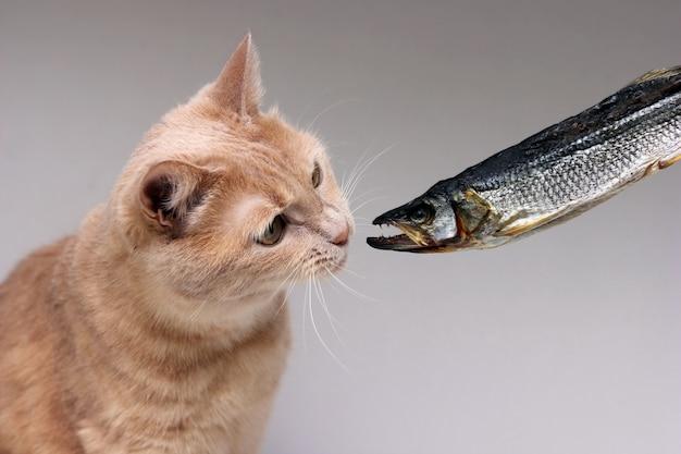 Die rote katze schnüffelt an getrocknetem fisch. konzept der tiernahrung.
