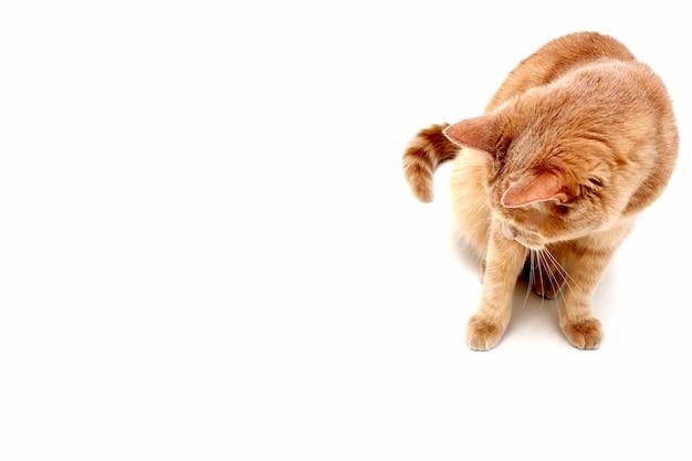 Die rote katze sitzt und schaut vor sich hinunter.