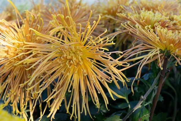 Die roten und gelben chrysanthemen mit langen und dünnen blütenblättern stehen in voller blüte