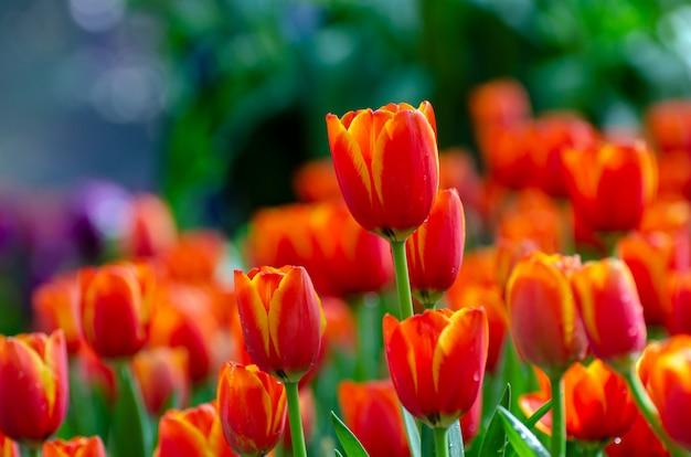 Die rotgelben tulpenfelder blühen dicht