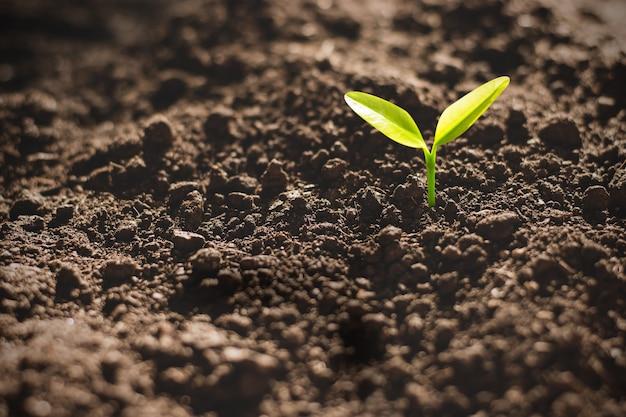Die sämlinge wachsen aus fruchtbarem boden, umweltkonzept.