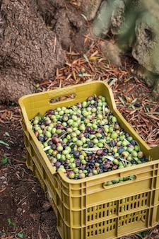 Die saisonale ernte von oliven in apulien, süditalien