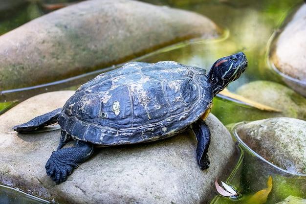 Die schildkröte ruht auf den steinen im wasser