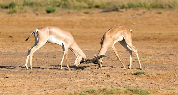 Die schlacht zweier grant gazellen in der savanne kenias