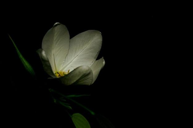 Die schmetterlingsblume