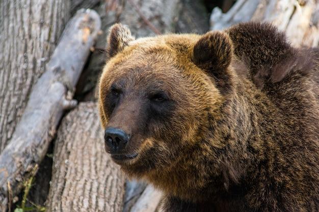 Die schnauze einer bärennahaufnahme