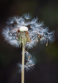 Die schöne löwenzahnblume im garten in der natur