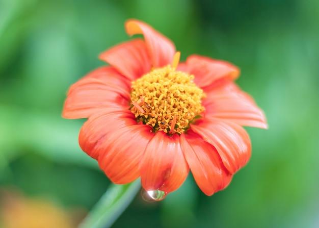 Die schöne orange blume, die mit regentropfen auf naturhintergrund blüht.