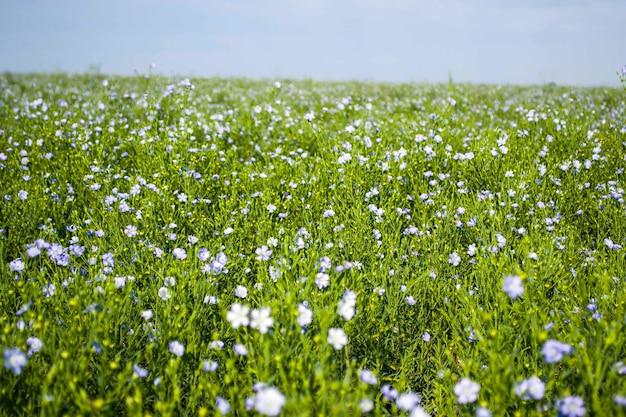 Die schönen blauen blüten des heilleins blühten