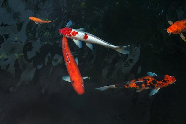 Die schönen koi-fische schwimmen im dunklen pool, karpfen oder koi schwimmen im teich im garten
