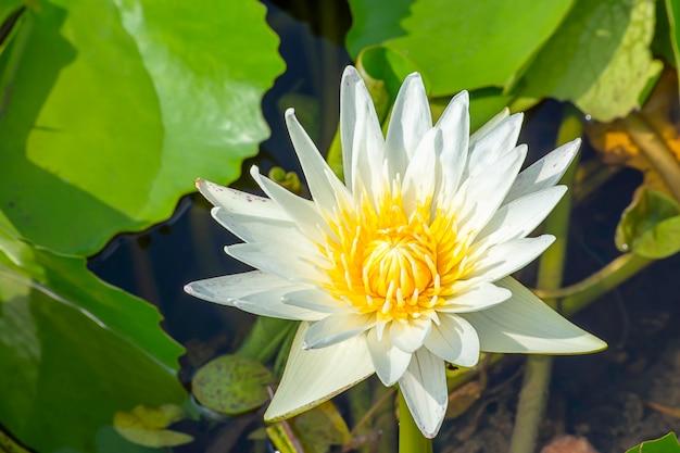Die schönheit der white lotus bloom in teichen