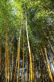 Die schönheit des goldenen bambusses mit goldenen stielen und grünen blättern. beliebt, um den garten zu dekorieren, weil es ein goldener bambus ist und ein schöner gelber look ungewöhnlicher aussieht als der typische bambus.