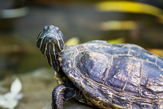 Die schwarze schildkröte schaut auf dem hintergrund des flusses auf