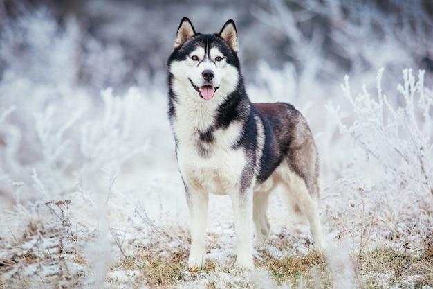 Die schwarze und weiße farbe des husky-hundes steht im winter auf dem feld