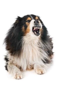 Die shetlandinseln-schäferhund im studio