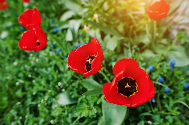 Die spitze einer roten tulpe im grünen gras