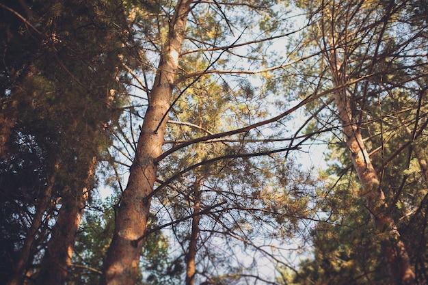 Die spitzen der bäume im hellen licht der sonne an einem sommertag, gegen den blauen himmel.