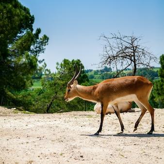Die springbockantilope (antidorcas marsupialis) im italienischen zoo
