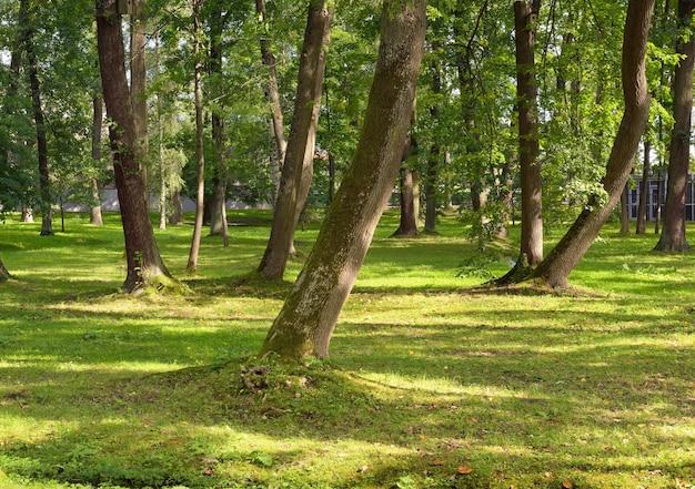 Die stämme der bäume im sommerpark. grüne lichtung von der sonne beleuchtet