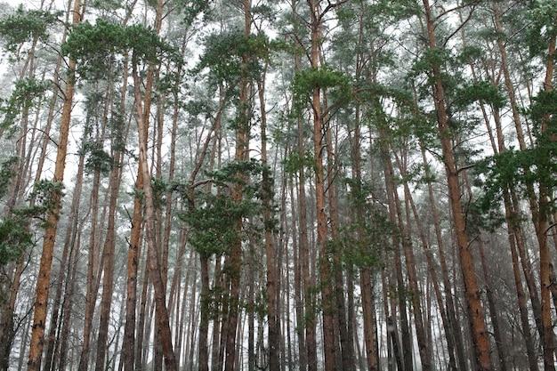 Die stämme der hohen kiefern im winter. auf der straße liegt schnee