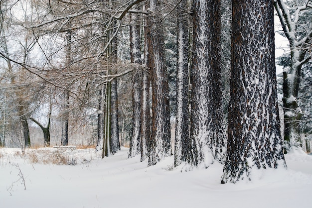 Die stämme der lärchen bedeckt mit schnee. winterlandschaft.