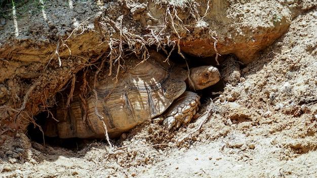 Die sulcata-schildkröten brüten im boden.