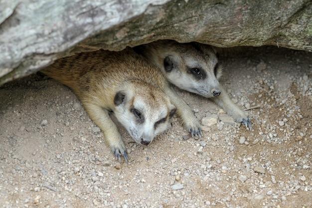 Die suricata suricatta oder das erdmännchen schlafen in der höhle