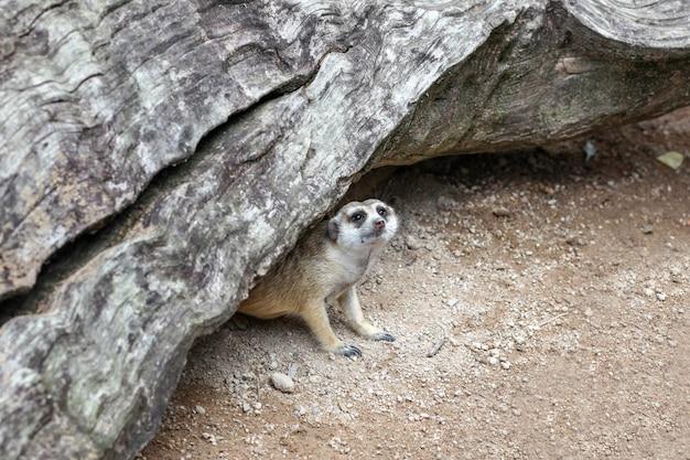 Die suricata suricatta oder erdmännchen in der höhle