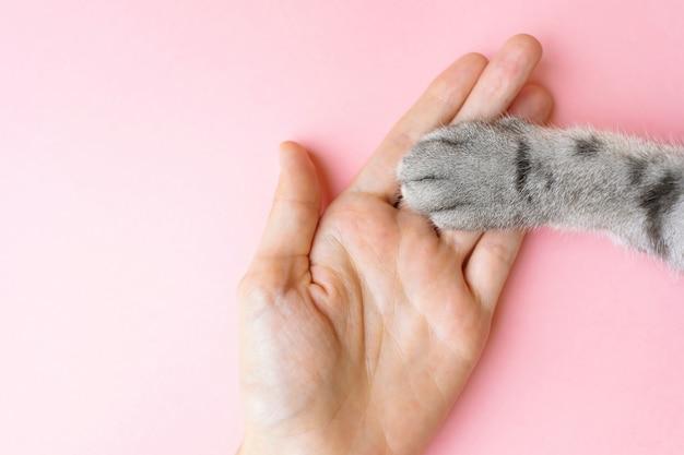 Die tatze und die menschliche hand der grauen gestreiften katze auf einem rosa.