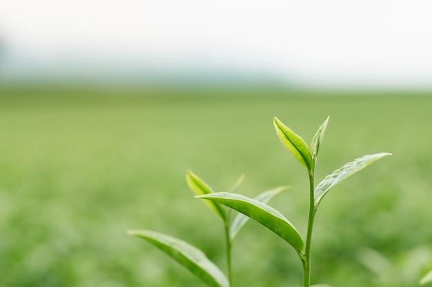 Die teeblätter wachsen in der mitte der teeplantage