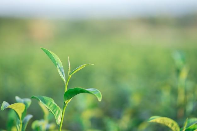 Die teeblätter wachsen in der mitte der teeplantage.