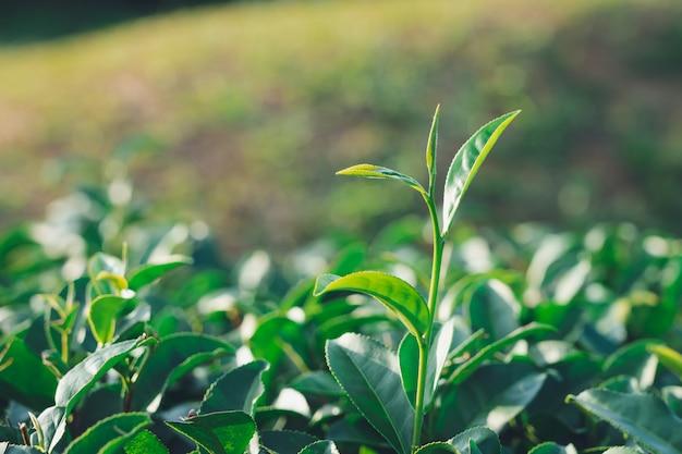 Die teeblätter wachsen mitten in der teeplantage. die neuen triebe sind weiche triebe.