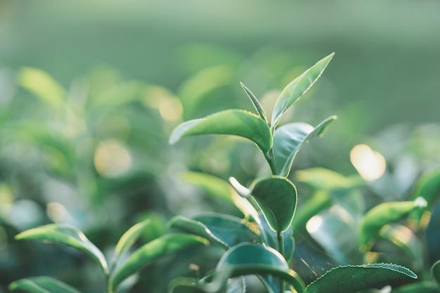 Die teeblätter wachsen mitten in der teeplantage. die neuen triebe