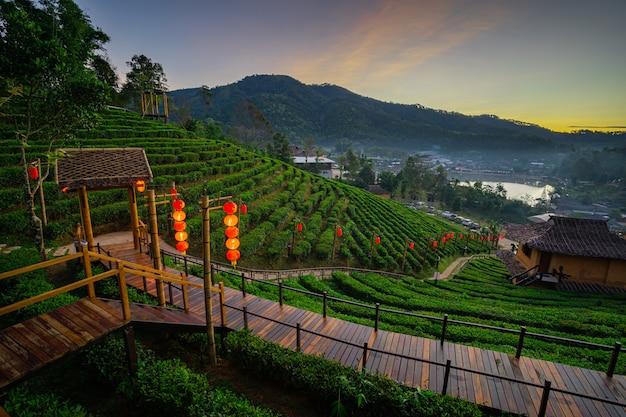 Die teeplantage auf der natur am morgen frisches luftgebirgssonnenlicht, in ban rak thai, mae hong son, thailand
