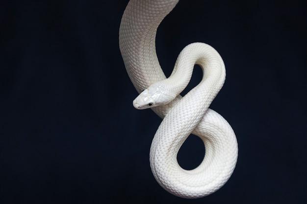 Die texas-rattenschlange (elaphe obsoleta lindheimeri) ist eine unterart der rattenschlange, eines ungiftigen colubrid, das in den usa vor allem im bundesstaat texas vorkommt.