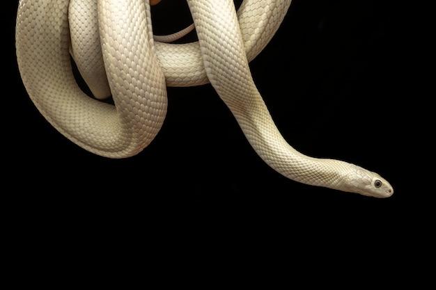 Die texas-rattenschlange (elaphe obsoleta lindheimeri) ist eine unterart der rattenschlange