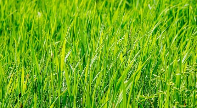 Die textur von grünem gras. hintergrund des grases für design_ Premium Fotos
