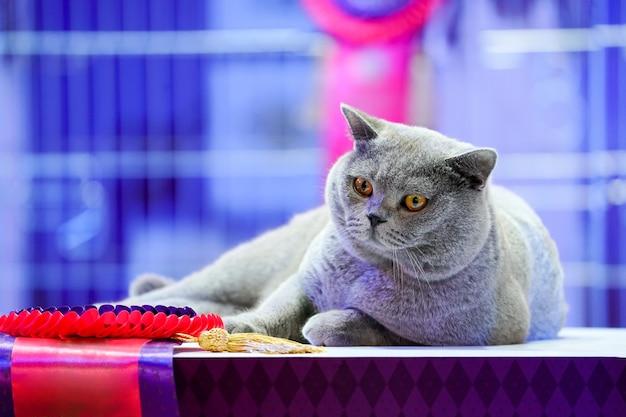 Die thai korat katze mit den grauen fellgelben augen. es ist der gewinner des wettbewerbs für schöne katzen des turniers.
