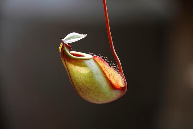 Die tropische kannenpflanze