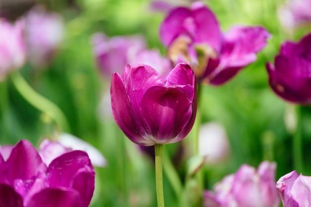 Die tulpe ist eine mehrjährige zwiebelpflanze mit auffälligen blüten der gattung tulipa