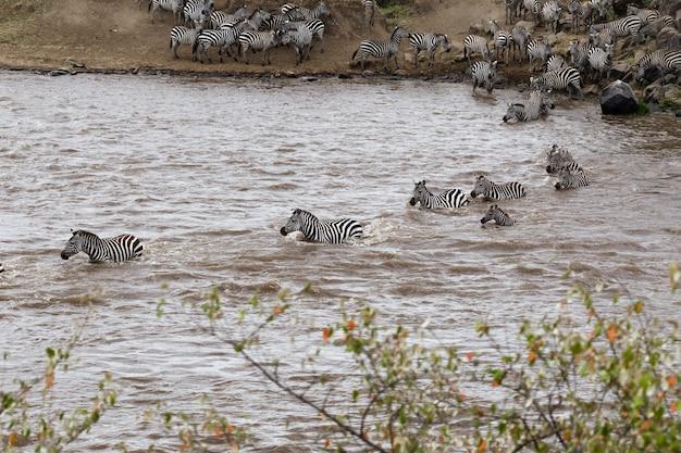 Die überquerung von zebras am gegenüberliegenden ufer des mara river kenya africa