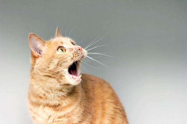 Die überraschte katze. das erstaunen der katze. öffne überrascht deinen mund. ein extremes maß an überraschung. verängstigte katze. sei unter schock. stupor.