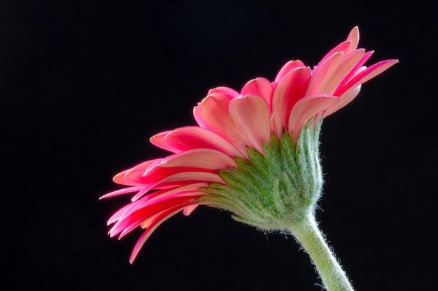 Die unterseite einer leuchtend rosa gerbera-blume (asteraceae)