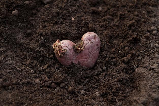 Die verwendung von verdorbenem gemüse als pflanzmaterial für die neue ernte.